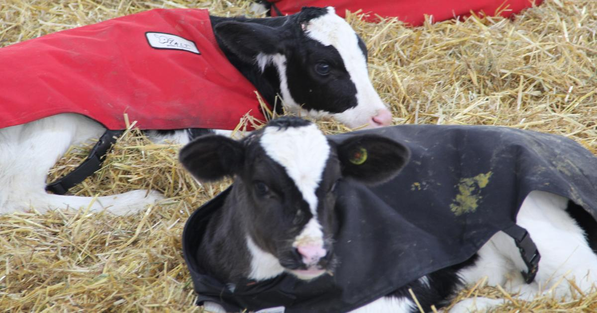 Keeping Pre-weaned Dairy Calves Healthy and Growing in Cold Weather