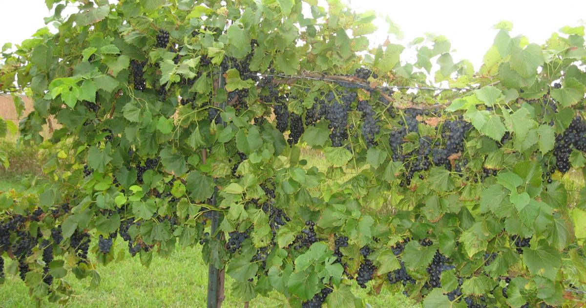 Grapes For Your Garden