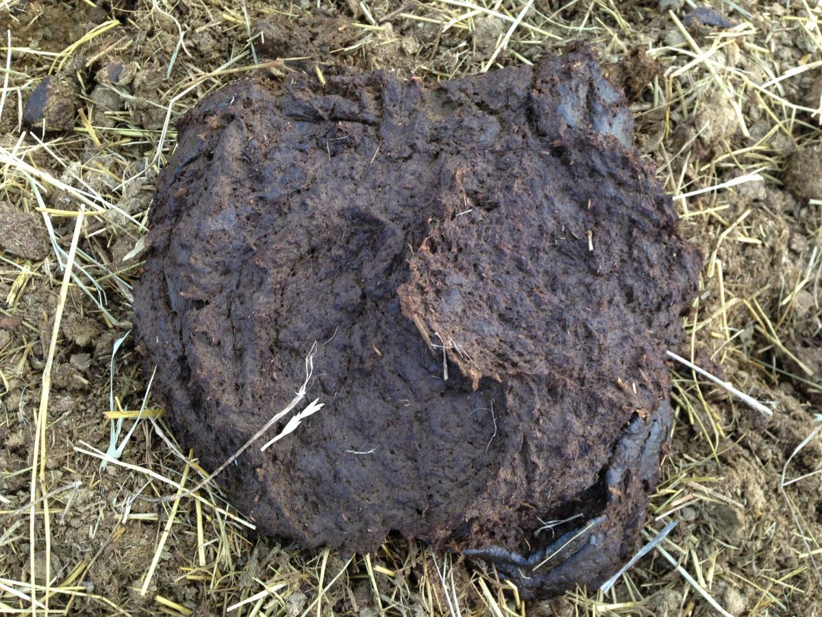 Cow manure patty that is soft and approximately 1 inch tall, with a concave center and no defining rings around the outer edges.