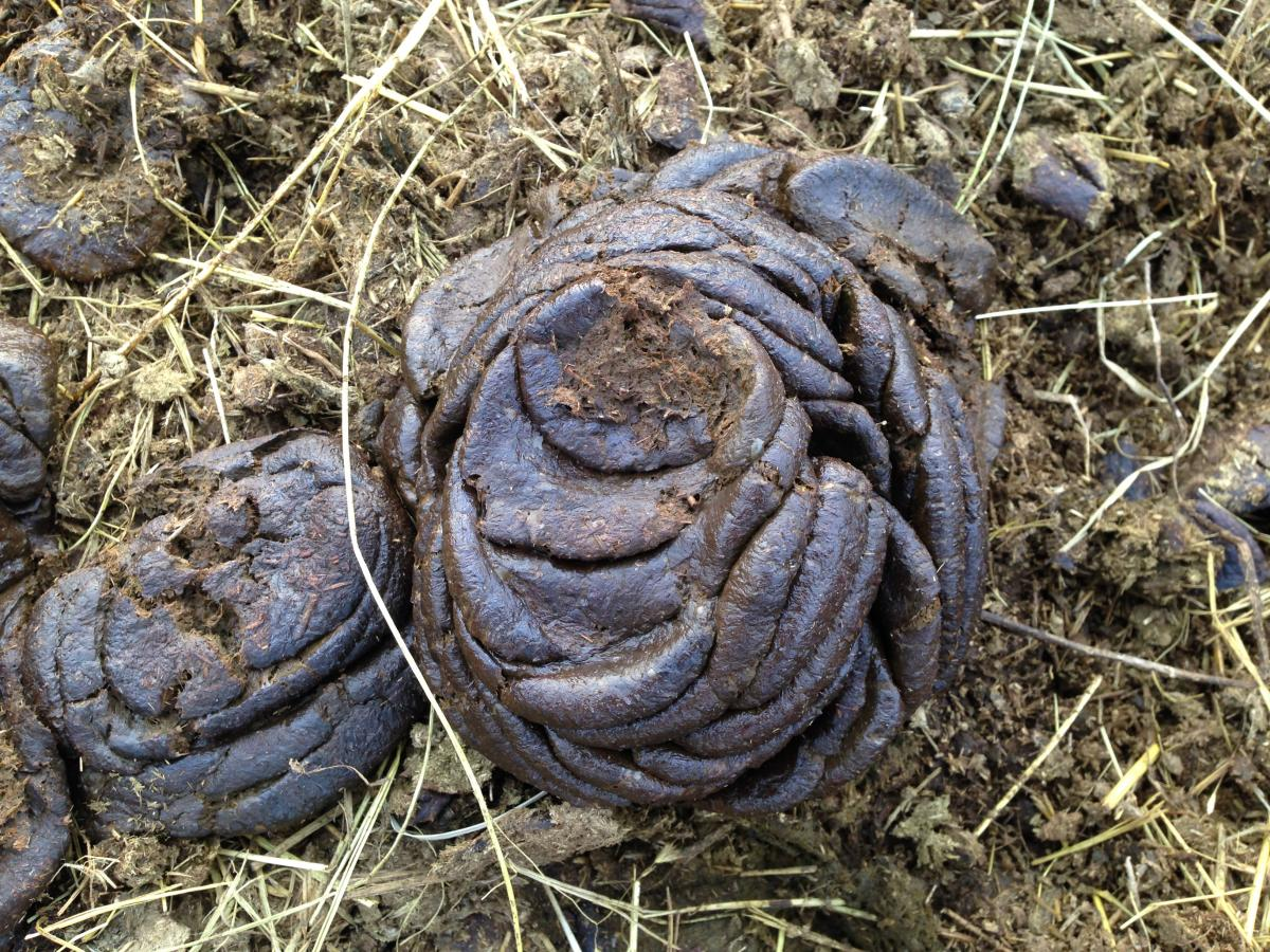 Cow manure patty that is over 2 inches tall with many well defined rings throughout and appears dry.