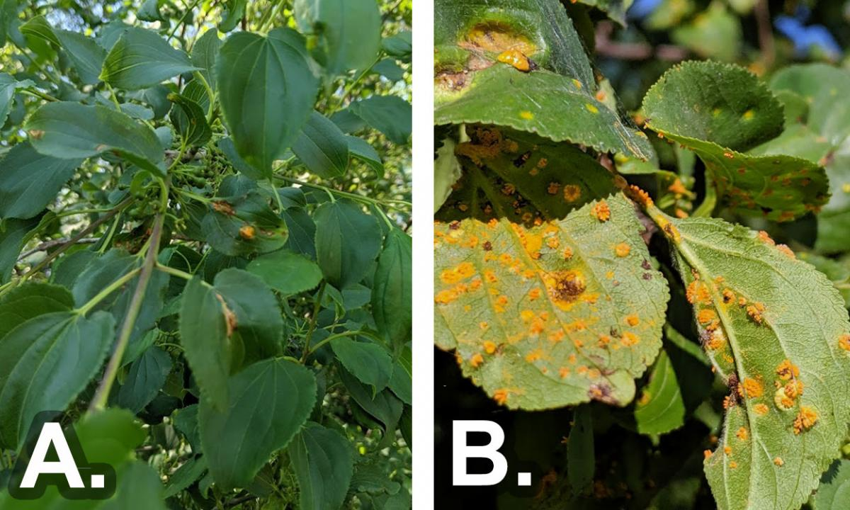 Crown rust inoculum observed on buckthorn leaves during two different years.