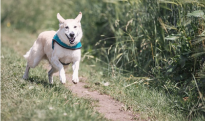 White dog with teal collar running down path.