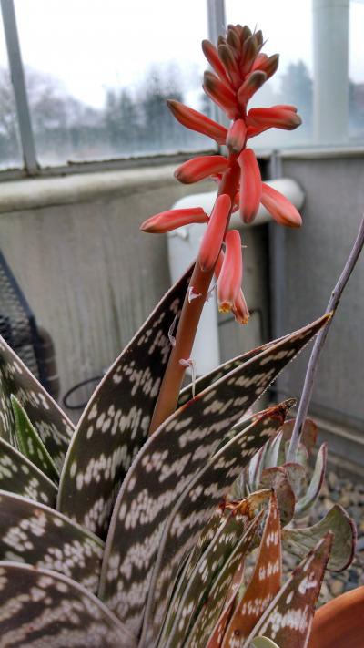brown and white Aloe variegata with a red bloom on the top