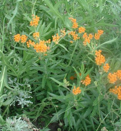 A lush, green patch of plants with groups of small orange flowers