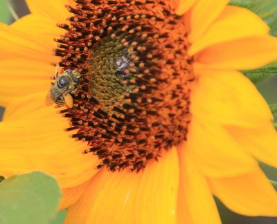 A bee sitting at the center of a bright, yellow sunflower
