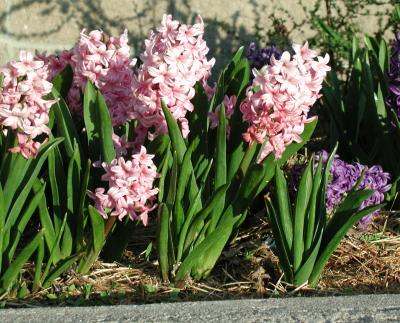 A group of green flowering plants with tall, thin clusters of pink and white flowers.