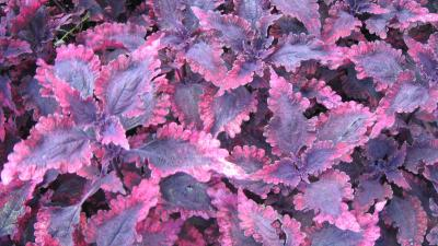 Leafy coleus foliage with purple and pink colored leaves.