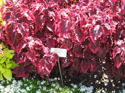 Coleus foliage with bright pink and purple colored leaves.