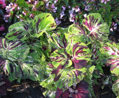 Coleus foliage with large, green, pink, and purple leaves.