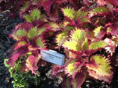 Colorful coleus foliage with bright green and pink-tipped leaves.
