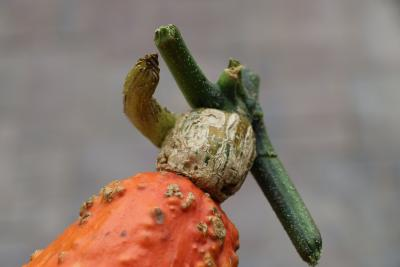 A corky, stem at the top of a bumpy, orange squash.
