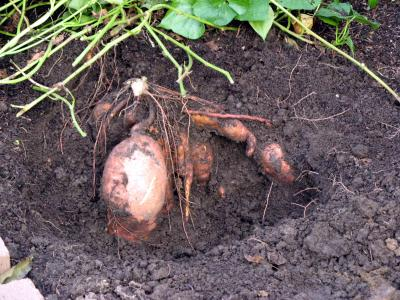 sweet potatoes dug out of the ground
