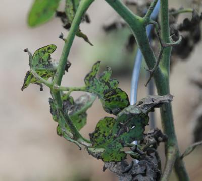 Wet Weather Leads to Tomato Problems