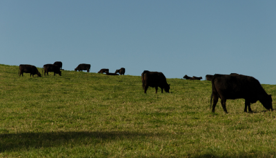 A small herd of cattle grazing on green pasture.