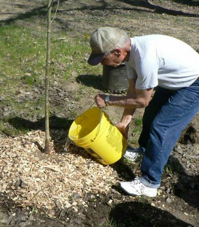 man watering newly planted tree with yellow bucket