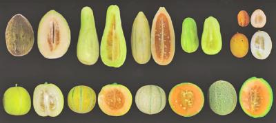 A variety of common melon types lined up on a black background.
