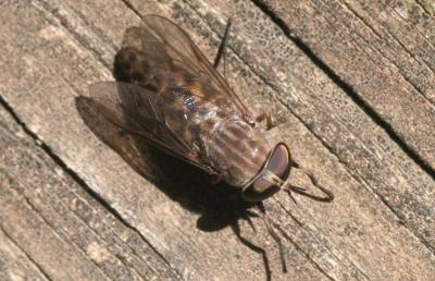 brown speckled fly resting on a wooden plank