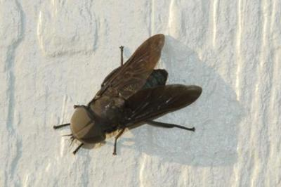 black fly resting on white wall