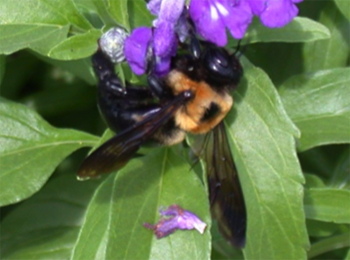 Fuzzy, black and yellow bee on purple flower.