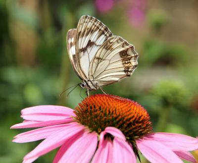 Butterfly with white and black wings resting atop a pink flower