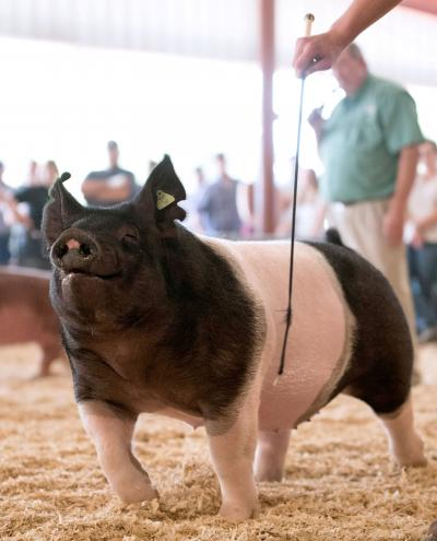 black and white pig being shown at a 4-H competition