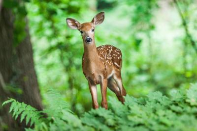 young, white-spotted deer standing in the woods