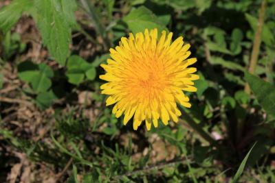 a yellow dandelion flower growing in a garden