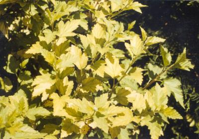 shrub with bright yellow leaves