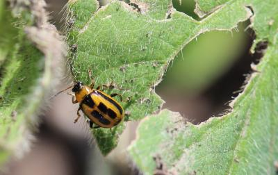 Scout Soybeans for Bean Leaf Beetle Feeding