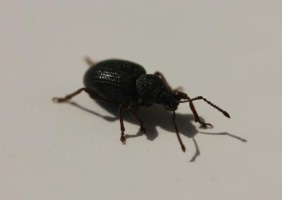 Shiny black beetle on a white background.