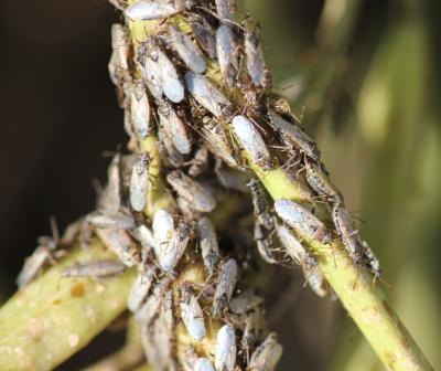 Group of small grey insects with clear wings on green plant.