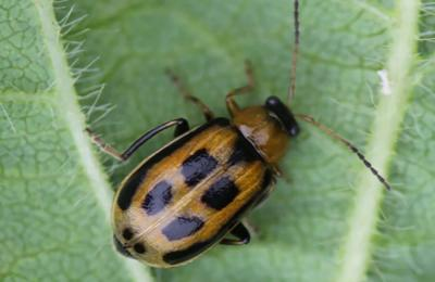 Small beetle that is brown with four black rectangles on back on a green leaf.