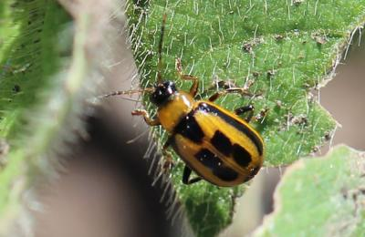 Small beetle that is yellow with four black rectangles on back on a green leaf.