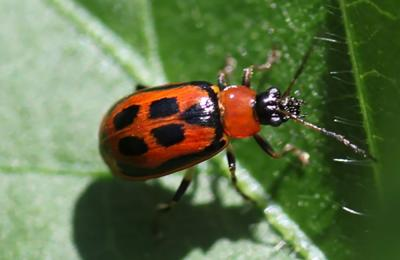 Small beetle that is red with four black rectangles on back on a green leaf.