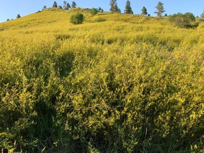 A field of yellow sweet clover in bloom.