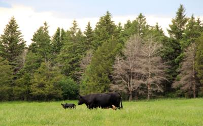 A black cow and calf in a pasture in front of a tree belt.