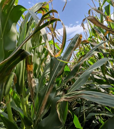 A corn field with several plants displaying long, tan to gray lesions on their leaves.