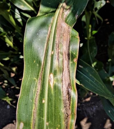 A corn leaf with long, tan to gray lesions with wavy margins at the center of the leaf or along the edges of the corn leaf blad.