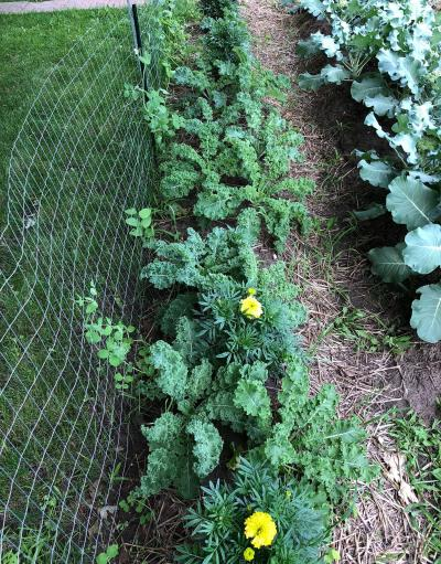 A companion planting of kale, pole beans, and marigolds in a small garden plot.
