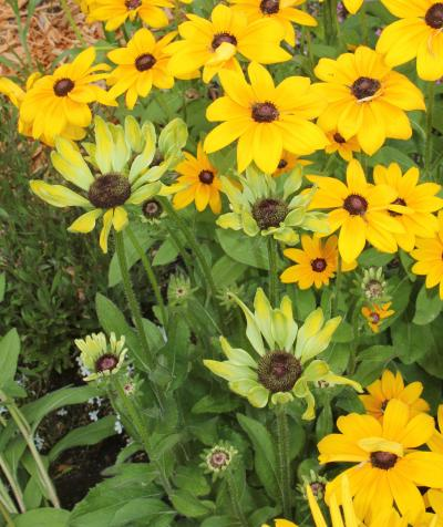 Aster yellow disease spreading throughout a planting of rudbeckia flowers.