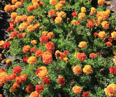 A lush planting of orange and red marigold flowers.