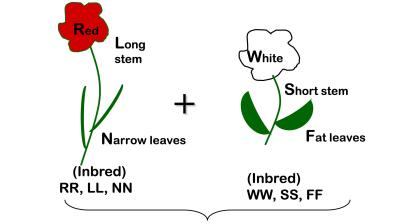A diagram of two parent plants. The left plant is an inbred plant with a red flower, long stem, and narrow leaves. (Traits are labeled: RR, LL, NN) The right is an inbred plant with a white flower, short stem, and fat leaves. (Traits are labeled: WW, SS, FF)