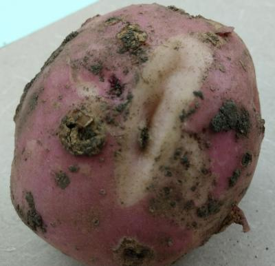 A red potato with brown, crusty scabs and a large crack in the middle revealing a white inside.