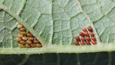 Two clusters of red spherical eggs on the underside of a green leaf.