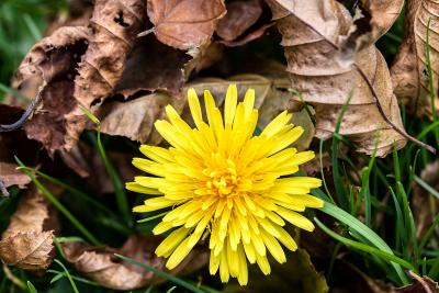 A yellow dandelion growing among fall leaves in a yard.