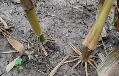 Assess For Corn Stalk Rots Mature corn stalks have a tall growth height, typically taller than a blockhead but always functionally two blocks tall. assess for corn stalk rots