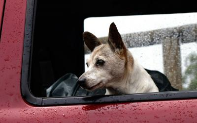 A dog in the cab of a pickup truck as rain falls.