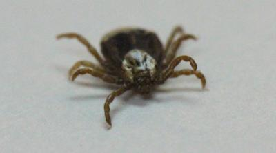A teardrop shaped tan tick with eight legs, brown markings, and a white patch behind its head on a white background.