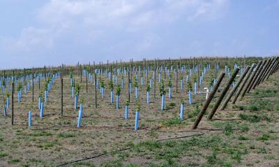 Several lines of blue-green tubes with newly planted grape vines emerging from them.