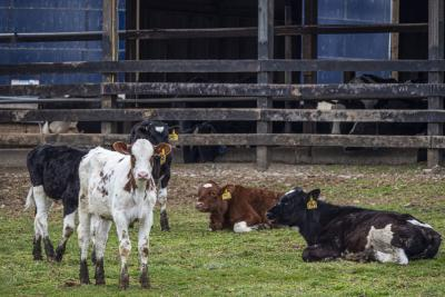 A small group of dairy cattle resting in a pen.